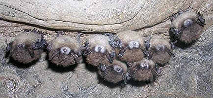 WNS Bats Small